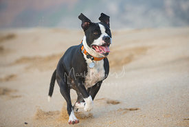 Black and White Pibull Running on Beach