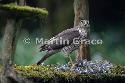 Eurasian Sparrowhawk (Accipiter nisus) feeding on a Coal Tit (Periparus ater) it has just caught, Lyth Valley, Cumbria, England: Image 2 of 4