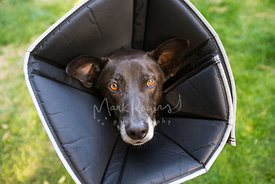 Senior dog in elizabethan collar