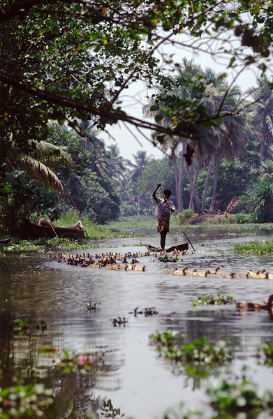 India - Kerala - A duckfarmer punts his way downstream with his flock