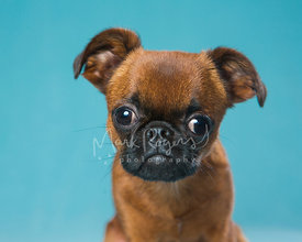 Shorthaired Brown Brussels Griffon Puppy Close-Up