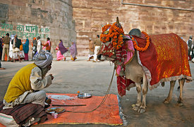 Feeding a cow is considered auspicious in the Indian culture. In this photograph a man eats while waiting for people to feed his cow during the Kumbh Mela