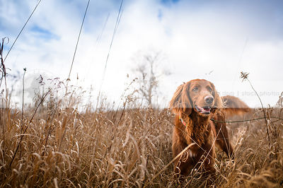 longhaired setter cross breed dog wagging in field of dried grasses
