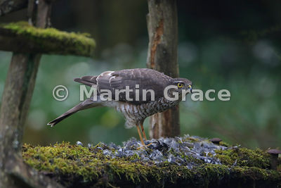 Eurasian Sparrowhawk (Accipiter nisus) feeding on a Coal Tit (Periparus ater) it has just caught, Lyth Valley, Cumbria, England: Image 1 of 4