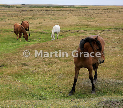 Riding horses, Pebble Island, West Falkland
