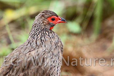 swainson's spurfowl/Svartbeinfrankolin - South Africa
