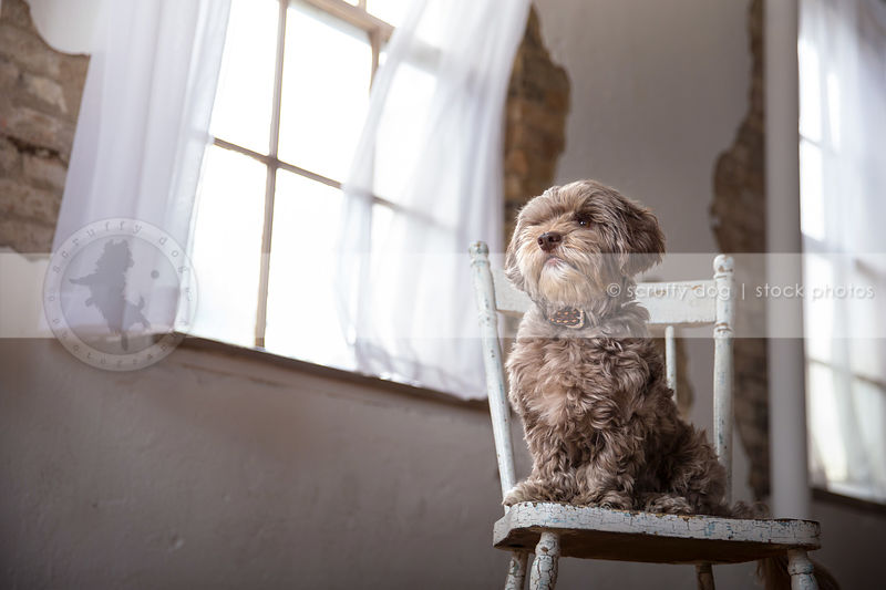 silver curly hair dog sitting posing on antique chair by window indoors