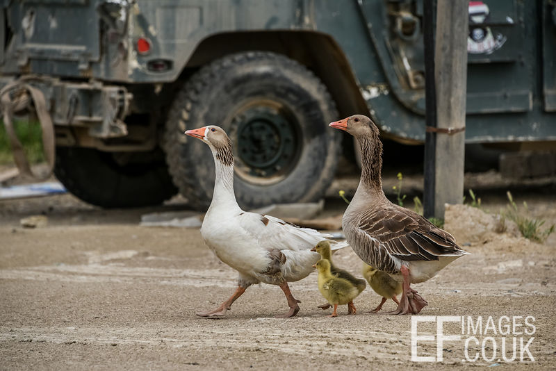 Geese and goslings in Badush, Iraq. 2nd May 2017