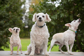 Three Small White Dogs Outside Howling