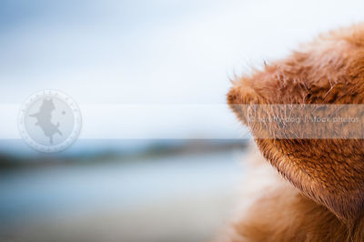 closeup of wet red dog ear at lake with minimal background