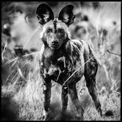 0757-Wild_Dog_in_the_grass_Botswana_2009_Laurent_Baheux