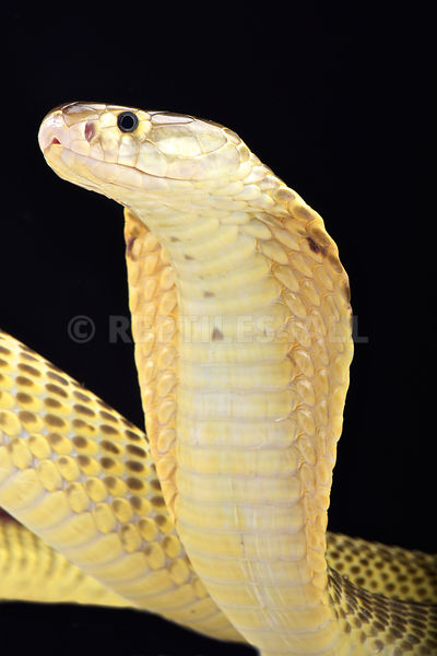 Sumatran spitting cobra (Naja sumatrana) photos