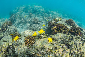 Yellow Tang and Coral along the Coral Reef of Big Island of Hawaii