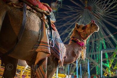 A camel stands in front of a ferris wheel at the Pushkar Camel Mela, Pushkar, Rajasthan, India.