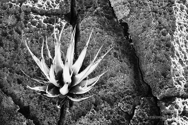 AGAVE AND THE ROCK BLACK AND WHITE
