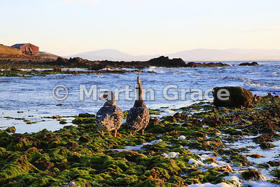 Falkland Steamer Duck (Tachyeres brachypterus) in evening light on the shore of Pebble Island, West Falkland