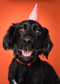 Smiling Black Dachshund Mix Close-Up with Birthday Hat