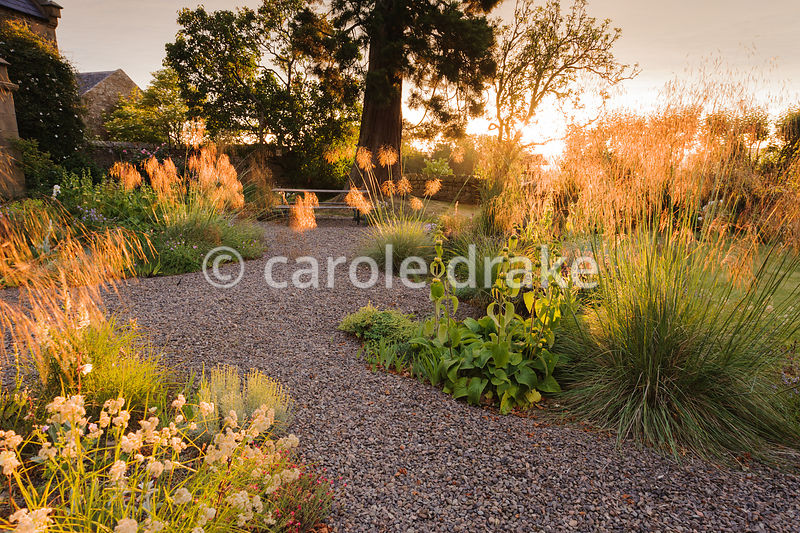 Gravel garden with Stipa gigantea and Luzula nivea catching the early morning sun, with antirrhinums, evening primrose and Phlomis russeliana. Fowberry Mains Farmhouse, Wooler, Northumberland, UK