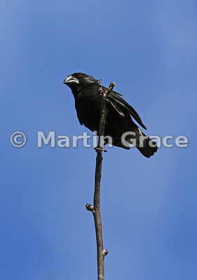 Large Ground Finch (Geospiza magnirostris), Santa Cruz, Galapagos Islands
