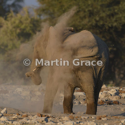 African Elephant (Loxodonta africana) dust-bathing, Etosha National Park, Namibia: Image 4 of 4