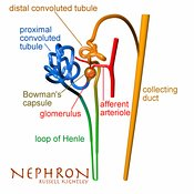 Human nephron labelled #1