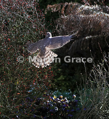 A juvenile male Eurasian Sparrowhawk (Accipiter nisus) flies closely round a Japanese Barberry (Berberis thunbergii atropurpurea) trying to flush out small bird prey, Lake District National Park, Cumbria, England
