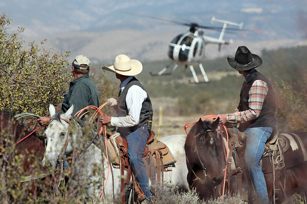 The wranglers cowboys capture mustangs with the help of a helicopter on the Magnolia Bench plateau near the town of Meeker, Colorado.