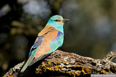 European Roller photo session (June 2014) photos