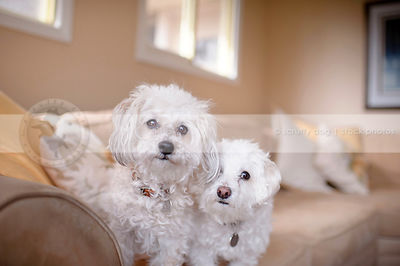 portrait of two small dogs together on couch in livingroom indoors