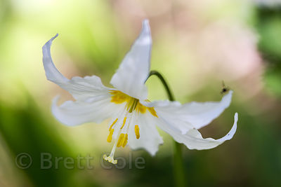 Avalanche lily (Erythronium montanum), Mount Rainier National Park, Washington