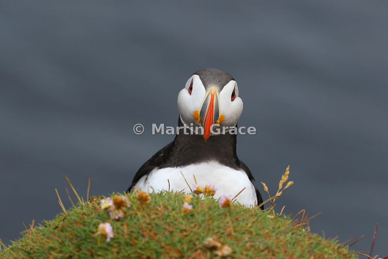 Atlantic Puffin (Fratercula arctica) with Thrift (Armeria maritima), Latrabjarg Cliffs, West Fjords, Iceland