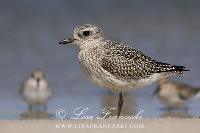 Black-bellied Plovers Shorebirds