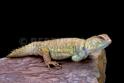 Princely spiny-tailed lizard (Uromastyx princeps)  photos