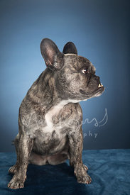 French Bulldog with Underbite In Profile Against Blue Background in Studio