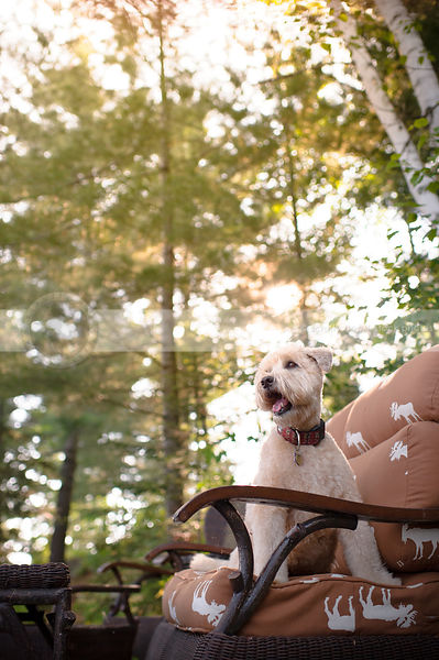 groomed dog sitting on patio furniture in natural setting with sunflare