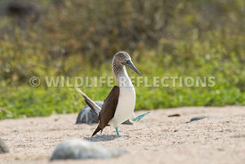 blue_footed_booby_north_seymour-49