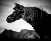 Mane in the wind, Wild horse of Iceland 2015 © Laurent Baheux