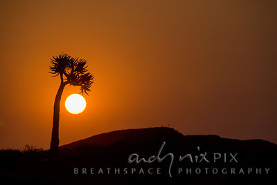 A lone Aloe dichotoma (Quiver Tree or Kokerboom) silhouetted against the bright orb of the setting sun in a clear orange sky