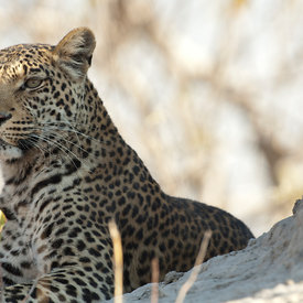 Leopard wildlife photos