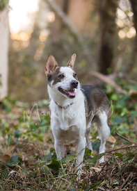 Cattle dog Australian Shepherd  Mix Smiling in the Woods