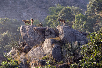 Indian Pariah stray dogs atop a huge boulder in the Aravali mountains, Ajaypal, Rajasthan, India
