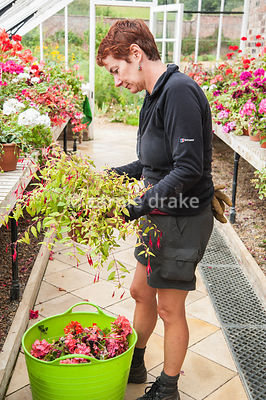 Trish Harris, gardener trained at Kew, deadheading in the restored Victorian glasshouse. Helmsley Walled Garden, Helmsley, York, North Yorkshire, UK
