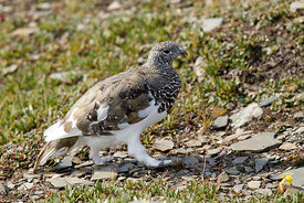 October - White-tailed Ptarmigan