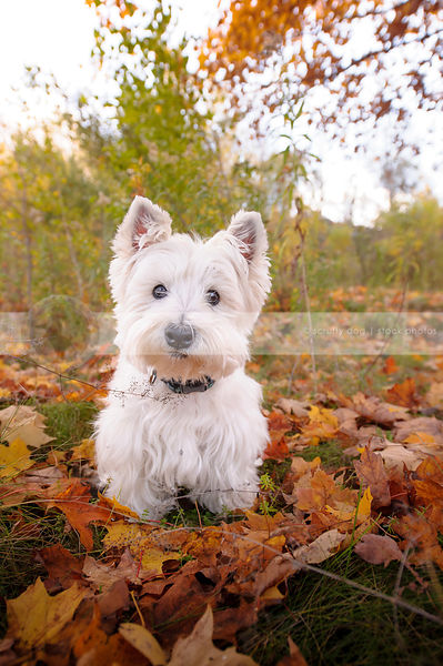 cute westhighland terrier sitting in autumn leaves