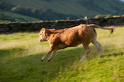 beef heifer running across pasture, cumbria