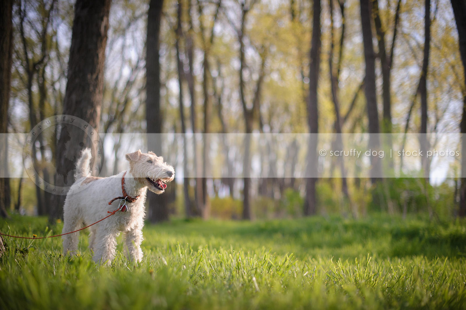 little wirehaired terrier dog standing in sunlit meadow
