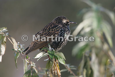 Common Starling (Sturnus vulgaris) in angular late afternoon sunlight, perching in a Buddleia bush, Lyth Valley, Cumbria, England