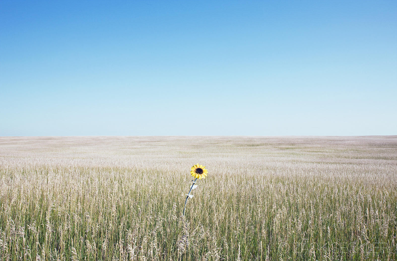 sunflower in the middle of a field of grass