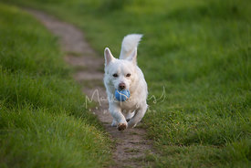 White mixed breed dog running down path with blue tennis ball