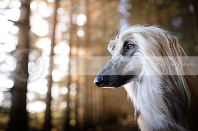 headshot of windblown longhaired dog in natural setting